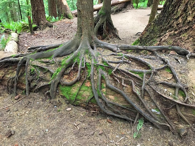 tree roots haiku