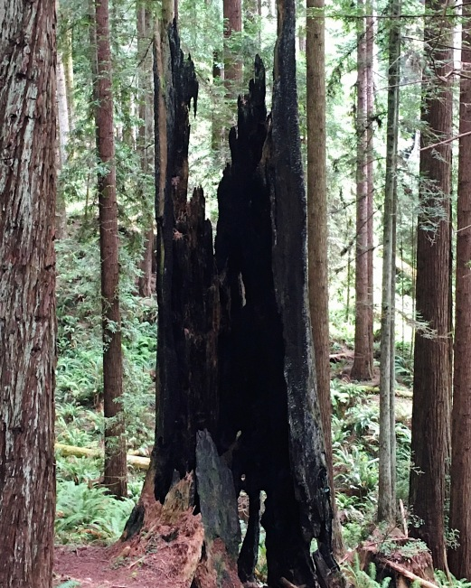 burned redwood